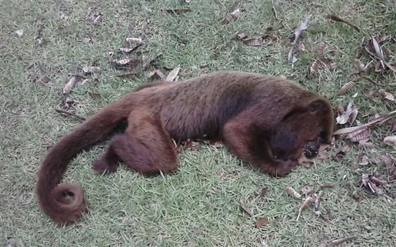 Três macacos são encontrados mortos por morador de Nova Era