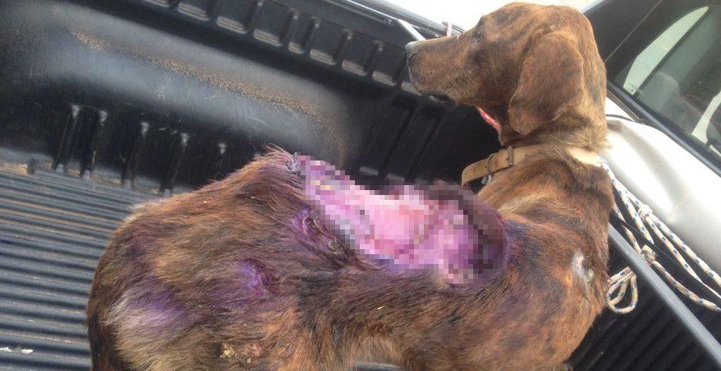 ONG pede doações para salvar cachorro vítima de maus-tratos
