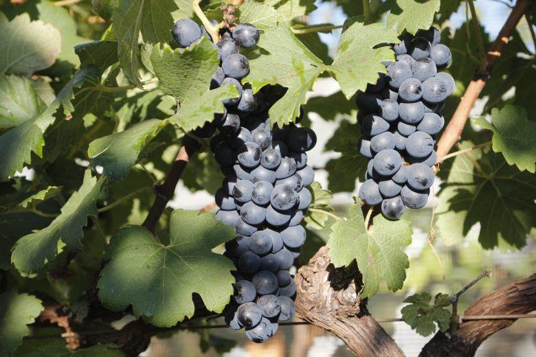 Pesquisa busca maior índice de resveratrol no suco de uva