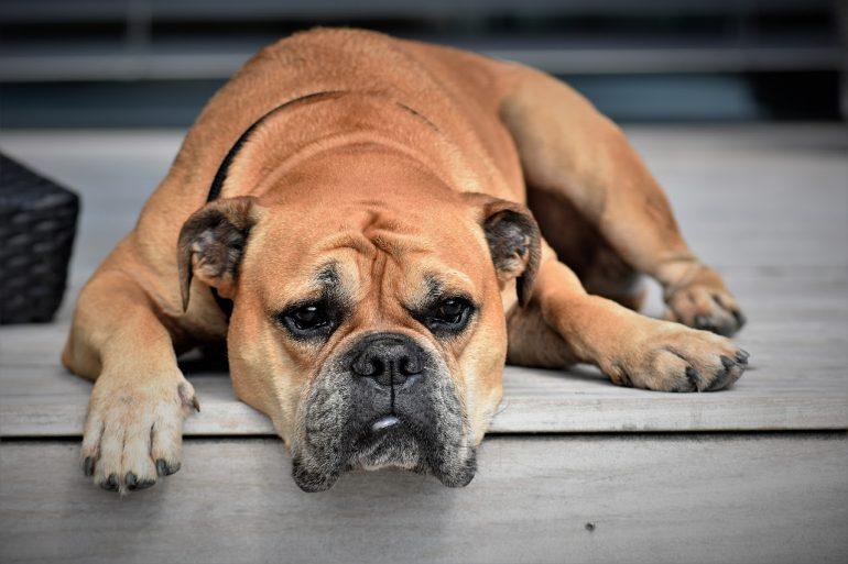 Conheça 5 sinais para identificar se seu pet está deprimido