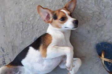 Cachorrinha desaparecida no Vila Salica em Itabira