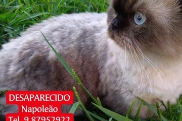 Gato desaparecido no bairro Jardim das Oliveiras em Itabira