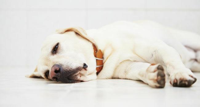 Parvovirose: o que é e como proteger os cães dessa doença?