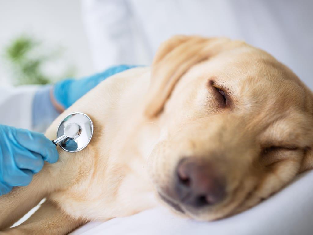 O que é a doença canina cinomose e como preveni-la