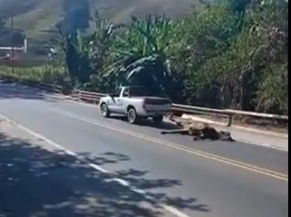 Motorista é flagrado arrastando boi furtado após acidente na BR-381