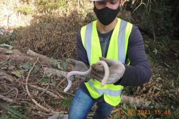Cobra ameaçada de extinção é encontrada às margens da BR-381