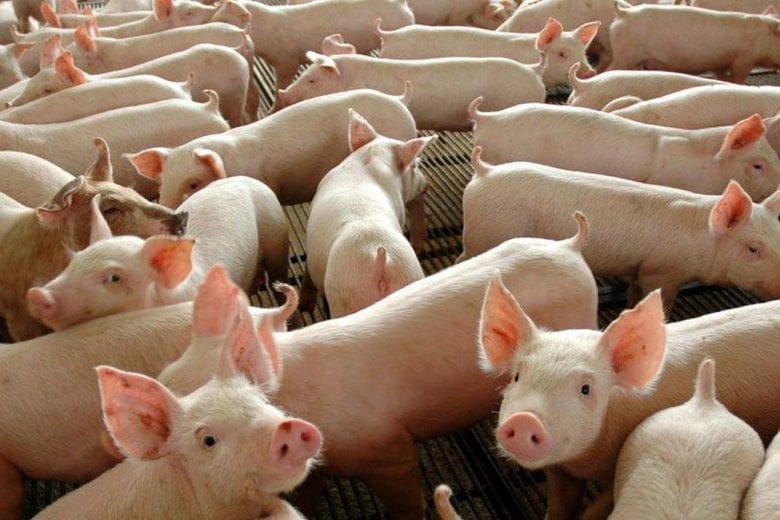 Alemanha detecta mais um caso de peste suína africana; entenda a doença