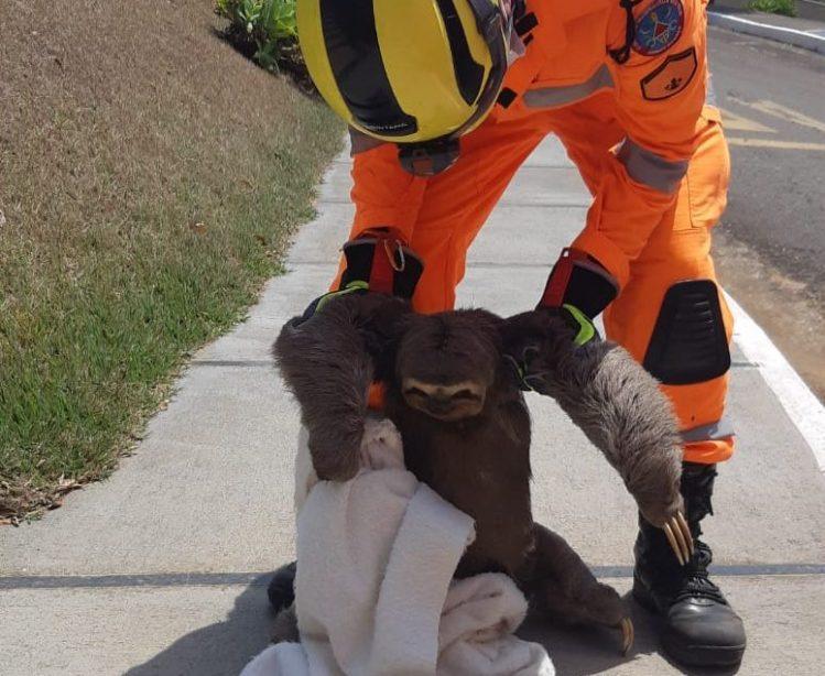 Bombeiros resgatam bicho-preguiça em condomínio no interior de Minas